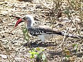 Red billed hornbill Tockus erythrorhynchus in Tanzania 3649 Nevit.jpg