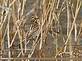 Reed Bunting (Emberiza schoeniclus) (33213803615).jpg