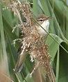 Reed Warbler 2 (3598109406).jpg