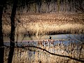 Reeds bird-25.jpg