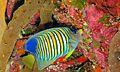 Regal Angelfish (Pygoplites diacanthus) (6052672503).jpg