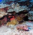 Regal slipper lobster.jpg