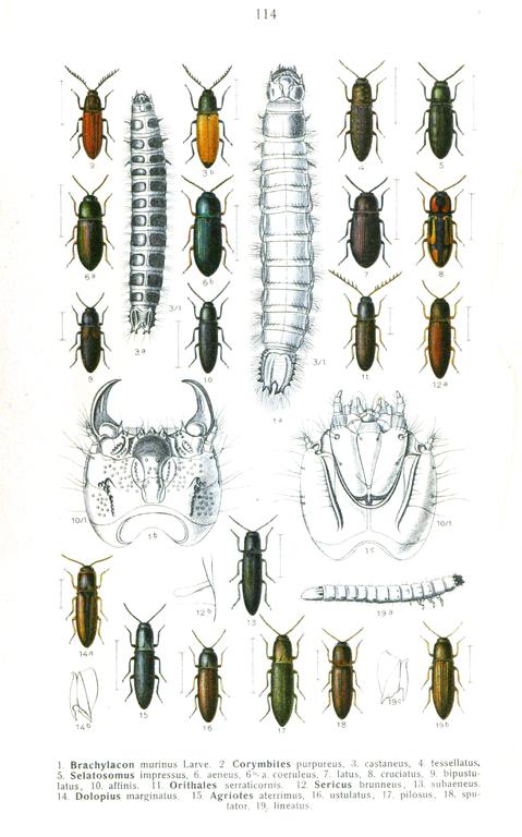 Častými škodcami sú larvy kováčikov nazývané strunovce