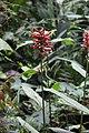 Renealmia fragilis (Zingiberaceae) (31540267503).jpg
