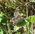 Reverdin's Blue^ Plebejus argyrognomon^ Female - Flickr - gailhampshire.jpg