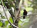 Rhegmatorhina cristata - Chestnut-crested Antbird.jpg