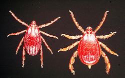 Rhipicephalus-appendiculatus-female-male.jpg