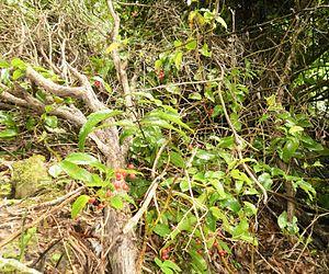 Ripogonum scandens - Supplejack with berries