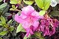 Rhododendron Autumn Royalty 0zz.jpg