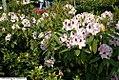 Rhododendron Calsap 1zz.jpg