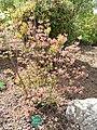 Rhododendron prinophyllum - University of Copenhagen Botanical Garden - DSC07604.JPG