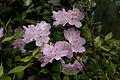 Rhododendron tashiroi 01.jpg