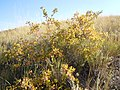 Rhus aromatica (R. trilobata) (5020619321).jpg