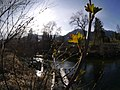 Ribes aureum sprouting new leaves in spring on Wenatchee River Leavenworth.jpg