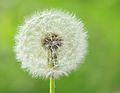 Ripe fruits by Common Dandelion.jpg