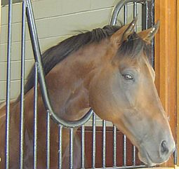 Thoroughbreds have a well-chiseled head. Rock of Gibraltar - Race Horse.jpg
