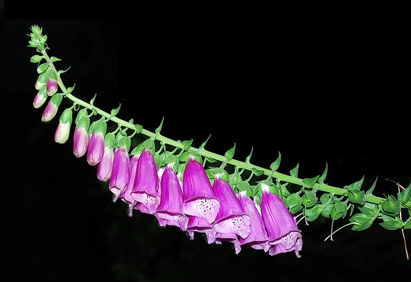 Plik:Rogow Digitalis purpurea.jpg