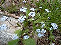 Romanian Flora - Wild blue small flower 06.JPG