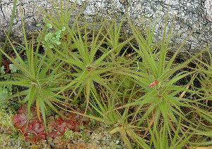 Roridula - Roridula gorgonias