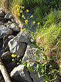 Rorippa amphibia sl5.jpg