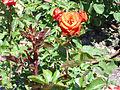 Rosa 'FE00241' F. Ferrer 2005 RPO1.jpg
