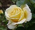 Rosa 'Frederyk Chopin' Zyla 1990.jpg