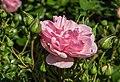 Rosa 'Home and Garden' (d.j.b) 02.jpg