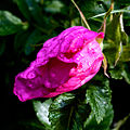 Rosa Begonia VII.jpg