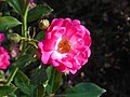 Rosa Lovely Fairy 2018-07-10 5587.jpg