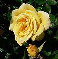 Rosa Oregold 1.jpg