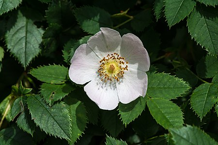 Dog-rose (Rosa canina)