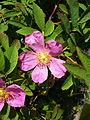 Rosa majalis flower.jpg