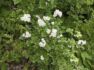 Rosa multiflora - Image: Rosa multiflora a 03