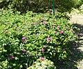 Rosa rugosa plant (05).jpg