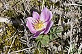 Rosa spinosissima inflorescence (28).jpg