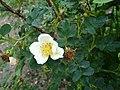 Rosa spinosissima inflorescence (81).jpg