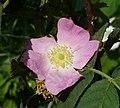 Rosa villosa inflorescence (02).jpg