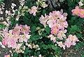 Rosa x paulii 'Rosea'.jpg