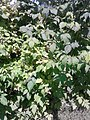Rosales - Rubus idaeus - 1.jpg