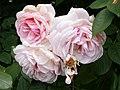 Rosarium Baden Rosa 'A Shropshire Lad' Austin 1996 01.jpg