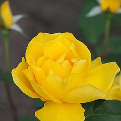 Rose, Henry Fonda, バラ, ヘンリーフォンダ, (15115772504).jpg