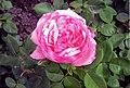 Rose Aachener Dom.jpg
