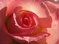 Rose Drops (2831254681).jpg