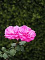Rose Triomphe de Pernet Père' バラ トリヨンフ ドゥ ペルネ ペレ (12836601513).jpg