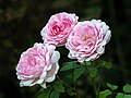 Rose Wife of Bath 17RM2420-PSD.jpg