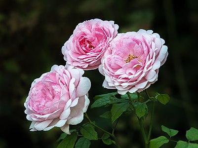 "English rose ""Wife of Bath"""