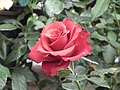 Rose from Lalbagh flower show Aug 2013 7895.JPG