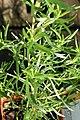 Rosmarinus officinalis 12zz.jpg