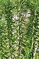 Rosmarinus officinalis Goodwin Creek 1zz.jpg