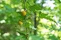 Rubus palmatus var. coptophyllus 04.jpg